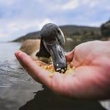 Penchez-vous en mangeant du maïs sur la paume d'une main image stock