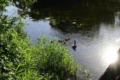 Penchez-vous et huit canetons flottant sur la rivière photos stock