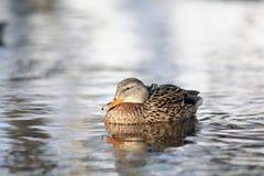 Penchez-vous lol se penchant de canard photographie stock