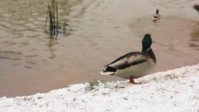 Penchez-vous sur la banque couverte la première par neige de l'étang avec flotter d'autres canards banque de vidéos