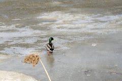 Penchez-vous sur la glace de fonte de l'étang en parc au printemps au coucher du soleil en avril photos libres de droits