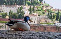 Penchez-vous sur les banques de la rivière de l'Adige à Vérone, Italie Sur la banque opposée sont les bâtiments médiévaux évident photo libre de droits