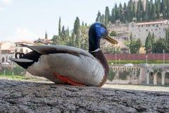 Penchez-vous sur les banques de la rivière de l'Adige à Vérone, Italie Sur la banque opposée sont les bâtiments médiévaux évident images libres de droits