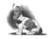 Pencil Drawing of a Basset Hound. A realism pencil drawing of a Basset Hound Dog Stock Photography
