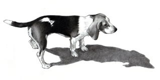 Pencil Drawing of a Beagle Dog Stock Images