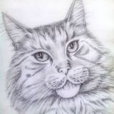 Pencil drawing a beautiful cat maine coon with beautiful eyes. Graphic image of a cat with expressive eyes, animals, pets, cats, eyes, maine coon cat, beautiful stock images