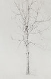 Pencil drawing birch on old paper background. Royalty Free Stock Images