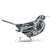 Pencil drawing blackbird Stock Images
