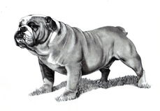 Pencil Drawing of Bulldog Stock Photo