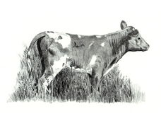 Pencil Drawing of Calf standing in Grass. A realism pencil drawing of a young calf Royalty Free Stock Image