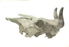 A pencil drawing of a cow�s skull Stock Photo