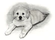 Pencil Drawing Golden Retriever Puppy. My pencil drawing of a cute little Golden Retriever puppy lying down Royalty Free Stock Image