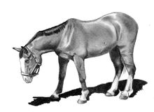 Pencil Drawing of Horse Looking Down. A realism pencil drawing of a horse looking down towards the ground Stock Photos