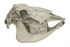 A pencil drawing of a horse's skull Royalty Free Stock Image