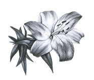 Pencil drawing Lily Royalty Free Stock Photography