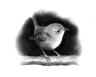 Pencil Drawing of a Little Wren. A realistic pencil drawing of a wren on a branch Royalty Free Stock Photo