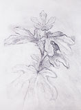 Pencil drawing on old paper, fig trees. Pencil drawing on old paper, fig trees Royalty Free Stock Photos