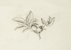 Pencil drawing on old paper, Rose. Latin name, rosa canina. Stock Photo