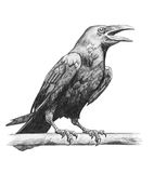 Pencil drawing of raven. On white background Royalty Free Stock Images