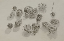 A pencil drawing of seeds and seedpods Royalty Free Stock Image