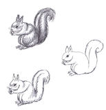 Pencil drawing of squirrel on white background Stock Photos