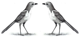 Pencil Drawing of Two Birds Face to Face. My freehand, realism, pencil drawing of two Scrub Jays facing each other Royalty Free Stock Image