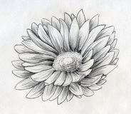 Daisy flower pencil sketch. Pencil drawn sketch of a single daisy flower with many petals vector illustration