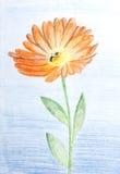 Pencil sketch of Calendula flower Stock Photo