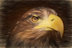 Pencil sketch with the image of a sea eagle. (Haliaeetus albicilla Royalty Free Stock Image