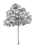 Pencil sketch of a young chestnut tree. Young chestnut tree pencil sketch royalty free illustration