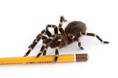 Pencil and the tarantula spider Stock Photo