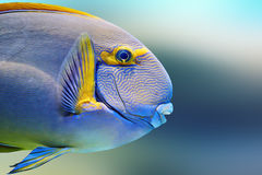 Pencilled surgeon fish Royalty Free Stock Image