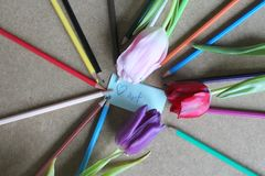 Pencils and tulips Stock Images