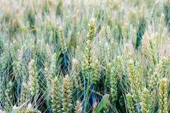 Pendant l'été, le blé dans les domaines Photo stock