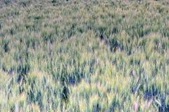 Pendant l'été, le blé dans les domaines Photographie stock