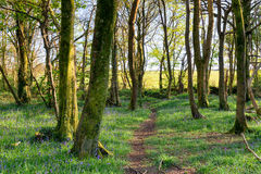 Pendarve Woods. Trees at Pendarve Woods nature reserve near Camborne in Cornwall Stock Photo