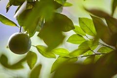 Pendere arancio non maturo da un albero di agrume Fotografie Stock Libere da Diritti