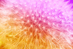 Pendiente anaranjada y violeta blanda con el fondo de la flor del diente de león foto de archivo