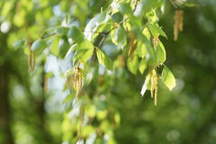Pendientes del árbol de abedul en día soleado de la primavera Imagen de archivo libre de regalías
