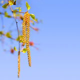 Pendientes del abedul contra el cielo azul Foto de archivo libre de regalías
