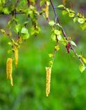 Pendientes del abedul que florecen en primavera en un fondo verde borroso Imagen de archivo