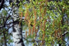 Pendientes en ramas del abedul en la primavera Fotos de archivo
