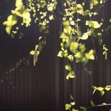 Pendientes y liaves de Yung en las ramas del abedul, foto del primer en la ca?da en un fondo rojo foto de archivo