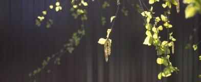 Pendientes y liaves de Yung en las ramas del abedul, foto del primer en la ca?da en un fondo rojo libre illustration