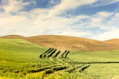 Pendii di collina e grano arati Fotografia Stock Libera da Diritti