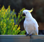 Pending cockatoo Stock Image
