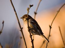 Pending spring. Sparrow on a branch with buds in a bright sunny day Royalty Free Stock Images