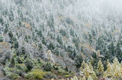 Pendio di alta montagna con la foresta attillata nevosa, Huanglong, Cina Immagine Stock