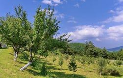 Pendio verde con i giovani alberi contro lo sfondo delle catene montuose enormi nella distanza Fotografie Stock