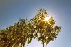 Pendula alba de Betula del abedul que llora a la izquierda Foto de archivo